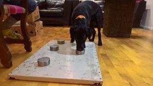 Homekoira Bambino Labrador narttu usko lahjomatonta homekoiraa